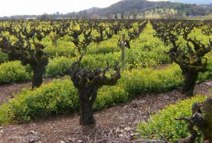old mature wine grape vines